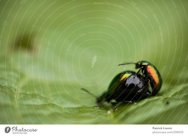 animal sex Umwelt Natur Tier Wildtier 2 Tierpaar genießen Käfer Insekt rot rund anschaulich Zärtlichkeiten grün Blatt Fühler Zusammensein Gefühle Hinterteil
