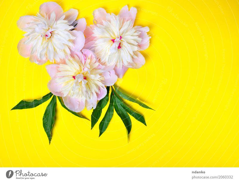 Drei rosa Pfingstrosenblumen auf einem gelben Hintergrund Feste & Feiern Valentinstag Muttertag Geburtstag Natur Pflanze Blume Blatt Blüte Blumenstrauß frisch