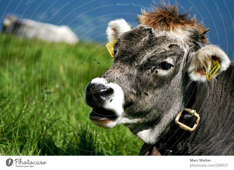 Muh Kuh Natur blau grün Sommer Erholung Landschaft Tier Umwelt Wiese grau Haare & Frisuren liegen Zufriedenheit Idylle Fliege Schilder & Markierungen