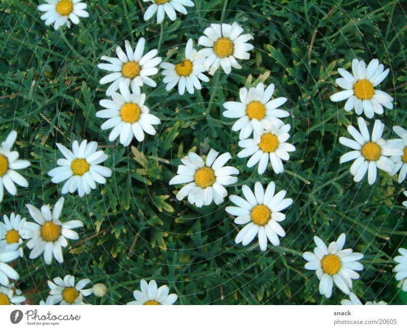 Margeriten Sträucher Blume Natur Pflanze Graffiti