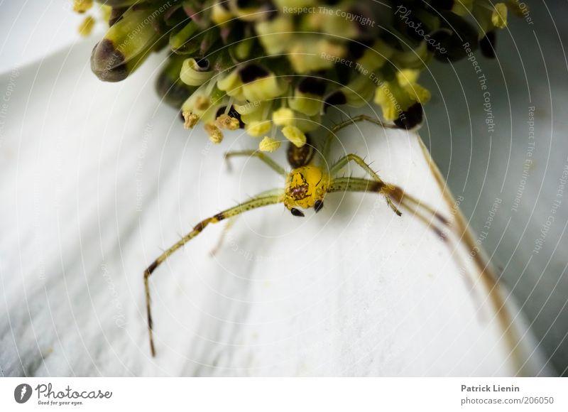 catch me if you can Umwelt Natur Tier Wildtier Spinne 1 warten fangen Blüte beobachten lang Angst schön Blume bereit sitzen wild geheimnisvoll bedrohlich