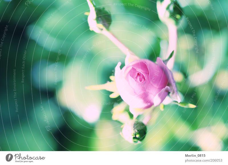 Dornröschen Natur Pflanze Frühling Rose Blüte Gefühle Leben Farbfoto Außenaufnahme Nahaufnahme Makroaufnahme Textfreiraum links Tag Licht Schatten Sonnenlicht