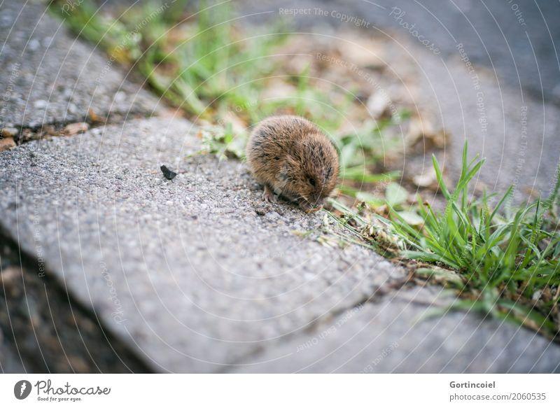Microtus agrestis Stadt Straße Tier Wildtier Maus Fell 1 Tierjunges klein niedlich Erdmaus Fressen Gras Samen braun Farbfoto Außenaufnahme Menschenleer
