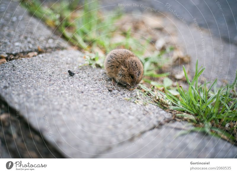 Microtus agrestis Stadt Tier Tierjunges Straße Gras klein braun Wildtier niedlich Fußweg Bürgersteig Fell Samen Fressen Maus Erdmaus