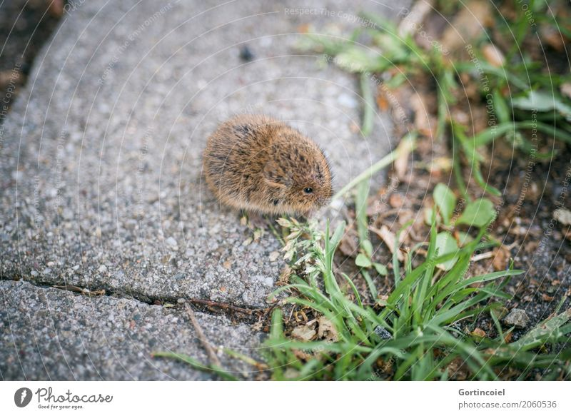 Erdmaus Stadt Straße Tier Wildtier Maus Fell 1 Tierjunges klein niedlich Microtus agrestis Fressen Gras Samen braun Farbfoto Außenaufnahme Menschenleer