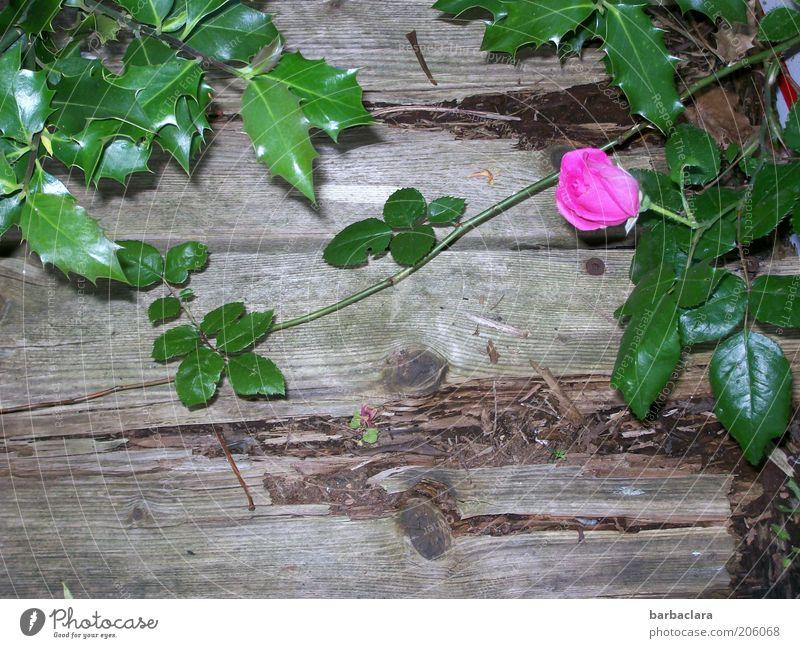 I never promised you a rose garden. alt Blume Pflanze Blüte Holz rosa Rose Wachstum Blühend Verfall Duft einzeln Dorn Holzwand morsch Wildpflanze