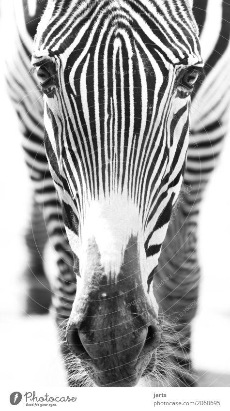 zebra II Wildtier Tiergesicht 1 stehen Afrika Zebra Streifen Schwarzweißfoto Außenaufnahme Nahaufnahme Menschenleer Tag Schwache Tiefenschärfe