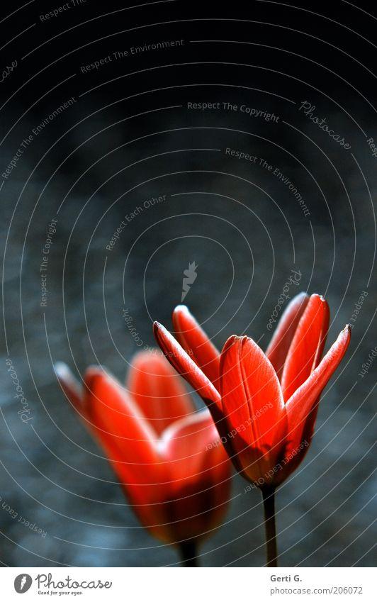 TrauerTulpen Blume rot ruhig schwarz dunkel Frühling Traurigkeit hell paarweise offen Blütenblatt lichtvoll Licht & Schatten