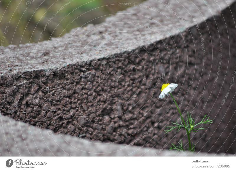 Kampfgeist Natur schön Pflanze Blume Sommer Umwelt Blüte Stein Wachstum Schutz einzeln Stengel minimalistisch Isoliert (Position) Kamille