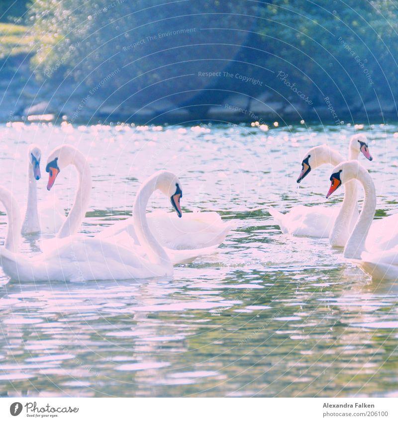 Mir schwant Schönes Wasser weiß Sommer Liebe Tier Zusammensein ästhetisch mehrere Tiergruppe nah Symbole & Metaphern Seeufer Flussufer Geborgenheit Schwan