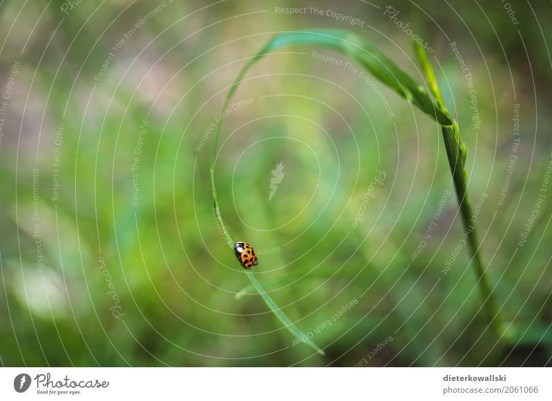 Marienkäfer Garten Umwelt Natur Landschaft Tier Gras Wiese Nutztier Käfer 1 Abenteuer Freiheit rot Punkt Halm grasgrün Farbfoto Außenaufnahme Nahaufnahme