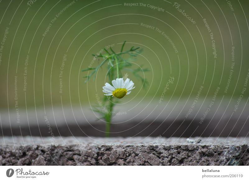 Laß den Kopf nicht hängen! Umwelt Natur Pflanze Sommer Klima Wetter Schönes Wetter Blume Blüte Wildpflanze schön Kamille Kamillenblüten Stein Steingarten