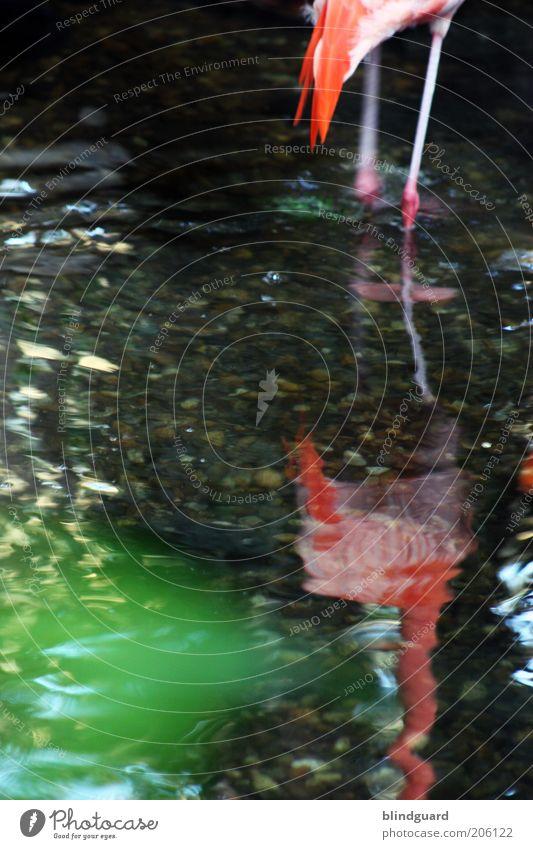 Legs Seeufer Tier Flamingo Zoo 1 Stein Wasser stehen grün rosa rot weiß Gelassenheit Schwanz Feder Beine Farbfoto Detailaufnahme Menschenleer Tag Kunstlicht