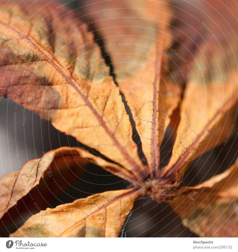 Vergänglichkeit Blatt braun Kastanienblatt Herbstfärbung Färbung Farbfoto Nahaufnahme Detailaufnahme Makroaufnahme Textfreiraum oben Schwache Tiefenschärfe