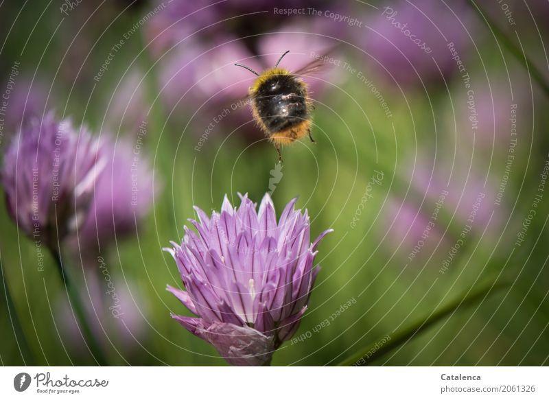 Ein flottes | Tempo Natur Pflanze Tier Sommer Schnittlauch Schnittlauchblüte Garten Insekt Hummel 1 Blühend Duft fliegen authentisch braun gelb grün violett