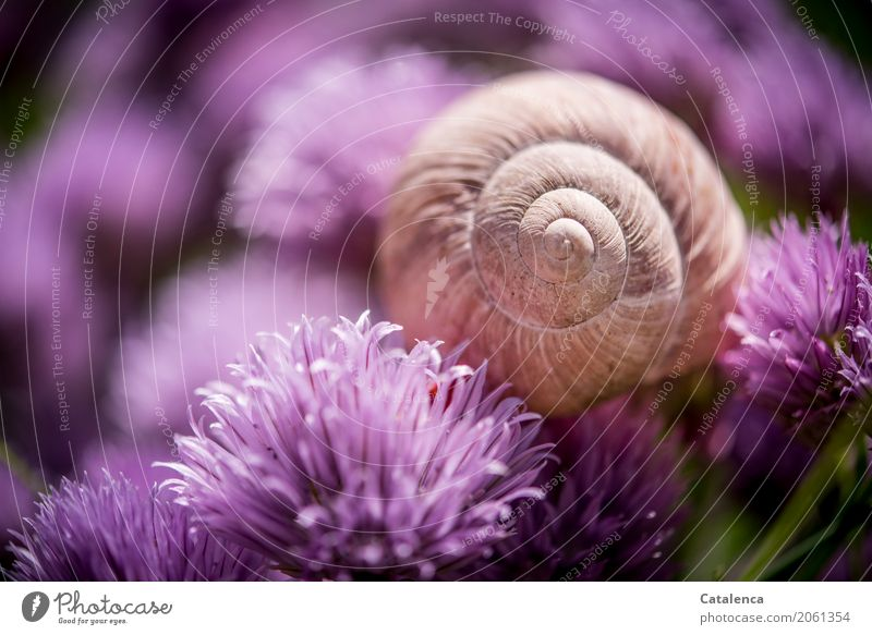 Kitsch | rosakitschiges Motiv Natur Pflanze Tier Sommer Blüte Schnittlauch Schnittlauchblüte Garten Gemüsegarten Schnecke Schneckenhaus Weinbergschneckenhaus 1