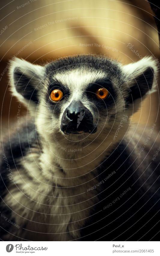 Katta Zoo Dresden Tier Wildtier 1 beobachten Blick Neugier Interesse Überraschung Angst bedrohlich Farbfoto Innenaufnahme Menschenleer Textfreiraum unten