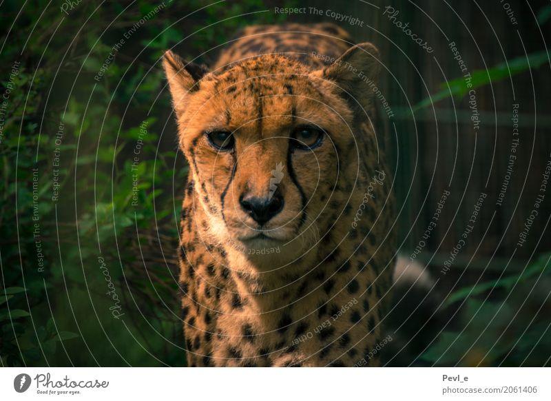 Bittere Wirklichkeit IV Zoo Dresden Tier Wildtier Tiergesicht Fell Gepard 1 Jagd sportlich Geschwindigkeit Tapferkeit Kraft gefährlich Stolz ästhetisch Farbfoto