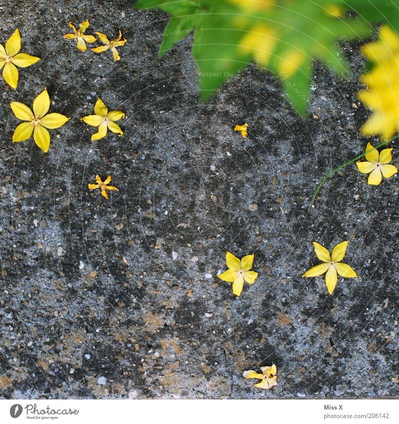 Sterntaler Garten Natur Pflanze Blume Blatt Blüte gelb Stern (Symbol) welk verblüht Blühend Boden Sommer Steinboden fallen liegen grün grau Blütenblatt Tag