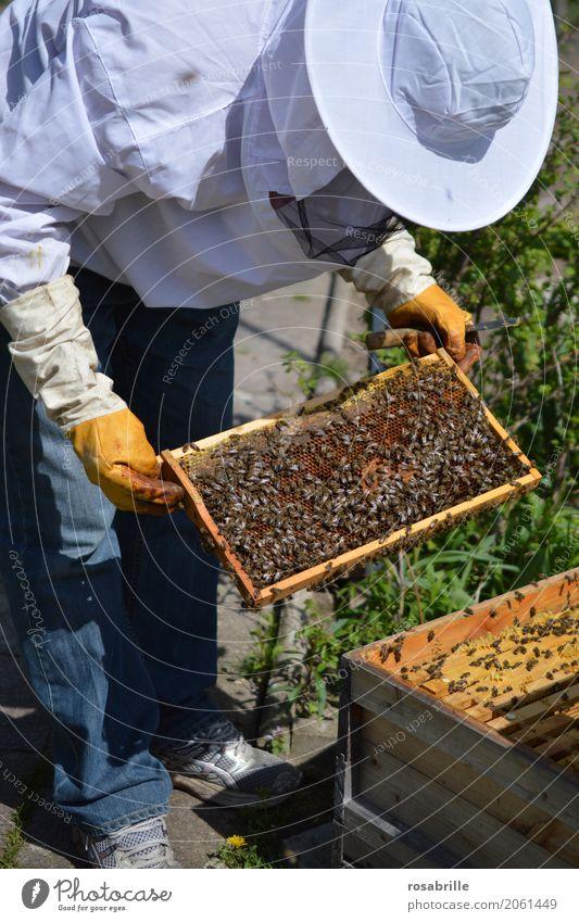 Imker bei der Arbeit Mensch Natur Mann Tier Erwachsene Umwelt natürlich Arbeit & Erwerbstätigkeit Freizeit & Hobby Biene nachhaltig Kontrolle Interesse Schwarm