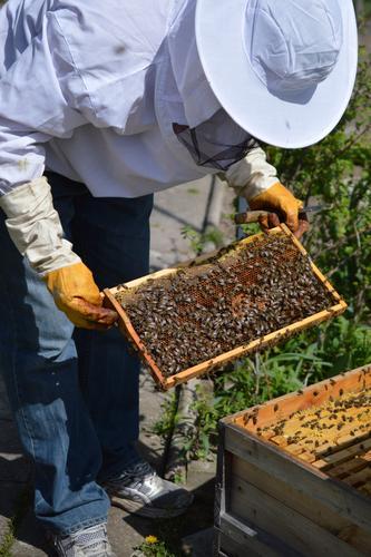 Imker mit Handschuhen und Schleier kontrolliert seinen Bienenstock und sucht nach Weiselzellen Mensch Mann Erwachsene 1 Natur Bienenwaben Beute - Bienenhaus