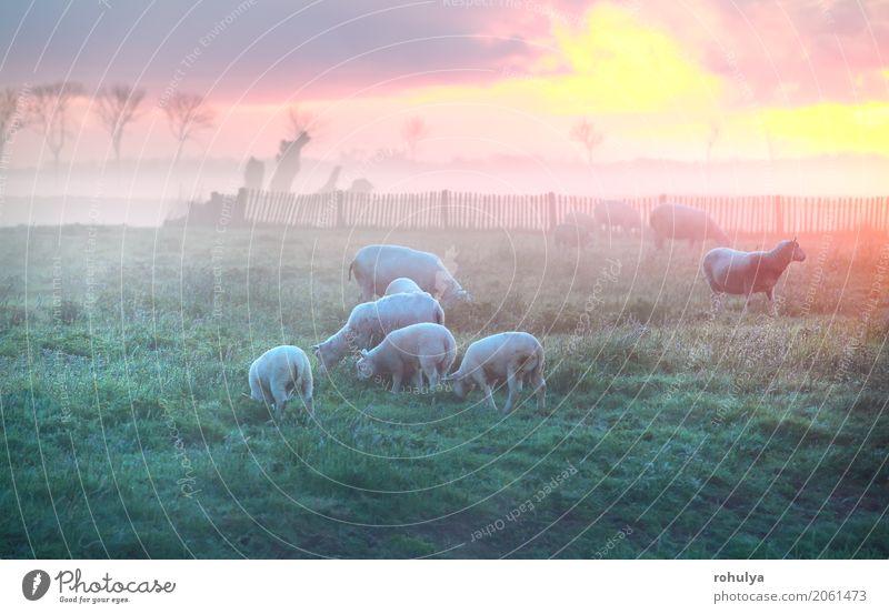 Schafe und Lämmer grasen auf Weide bei Sonnenaufgang, Holland Natur Sommer Landschaft Wolken Tier Wiese Gras rosa Nebel Aussicht Tiergruppe Fressen ländlich