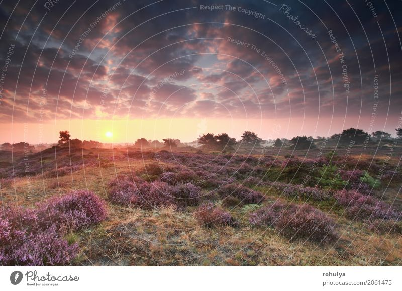 blühendes Heidekraut bei Sonnenaufgang im Sommer Himmel Natur Landschaft Blume Wolken Blüte Wiese rosa wild Schönes Wetter Hügel Jahreszeiten Beautyfotografie