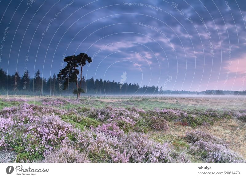 Rosa blühende Heidekraut bei Sommer Sonnenaufgang Himmel Natur Pflanze blau Baum Landschaft Blume Wolken Blüte Wiese rosa wild Nebel Aussicht