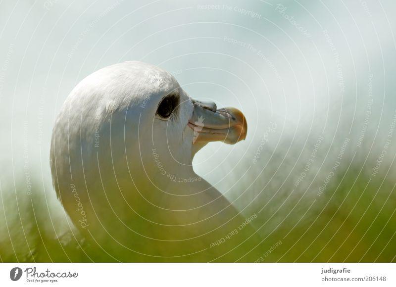 Island Umwelt Natur Pflanze Tier Gras Vogel Eissturmvogel 1 beobachten natürlich Idylle Farbfoto Tag Tierporträt Kopf Schnabel