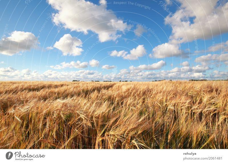 blauer Himmel über Weizenfeld im Sommer Natur Landschaft Wolken Horizont Sonnenlicht Schönes Wetter Feld weiß Korn Müsli Rochen meadiw kultiviert Ackerbau