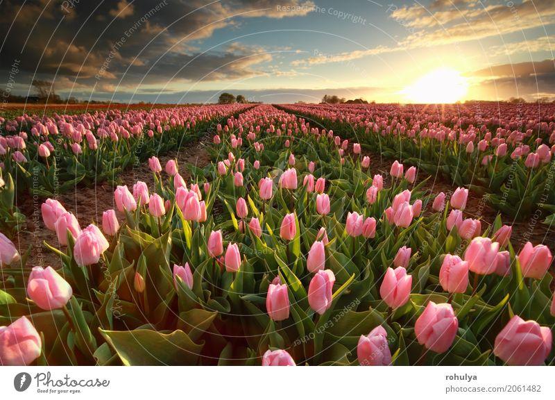 Sonnenuntergang über rosa Tulpenfeld Himmel Natur blau Landschaft Blume Wolken Blüte Frühling Feld Aussicht Beautyfotografie Bauernhof ländlich