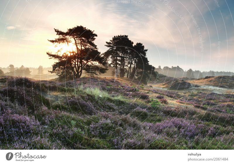 Kiefern und Heide blüht bei nebligen Sonnenaufgang Sommer Natur Landschaft Himmel Sonnenuntergang Schönes Wetter Nebel Baum Blume Blüte Wiese Hügel blau rosa