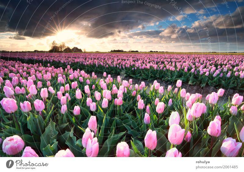 Sonnenschein über rosa Tulpenfeld, die Niederlande Ferien & Urlaub & Reisen Kultur Natur Landschaft Himmel Wolken Horizont Sonnenaufgang Sonnenuntergang