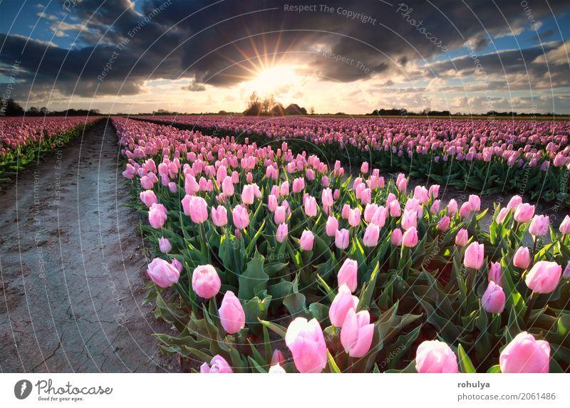 Sonnenschein über Feld mit rosa Tulpen, Holland Ferien & Urlaub & Reisen Kultur Natur Landschaft Himmel Wolken Horizont Sonnenaufgang Sonnenuntergang Frühling