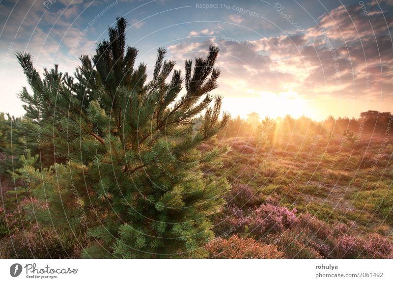 schöner goldener nebelhafter Sonnenaufgang hinter Kiefer Himmel Natur blau Sommer Baum Landschaft Blume Wolken Wald Wiese rosa wild Nebel Aussicht