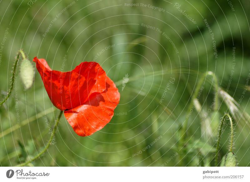 Leuchtkraft Natur grün schön Pflanze rot Farbe Erholung Leben Wiese Landschaft Umwelt Gras Blüte Glück Gesundheit Feld