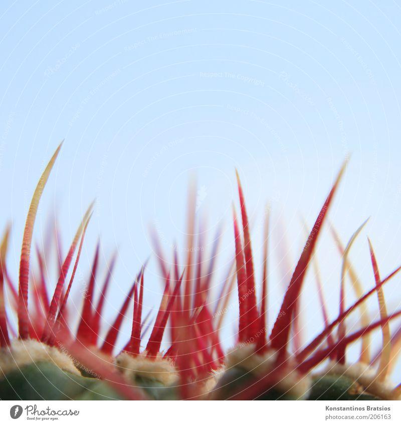 Stechus Kaktus Pflanze Wolkenloser Himmel Kakteenstacheln dünn authentisch fest groß nah oben Spitze stachelig blau gelb rot gefährlich ästhetisch Schmerz