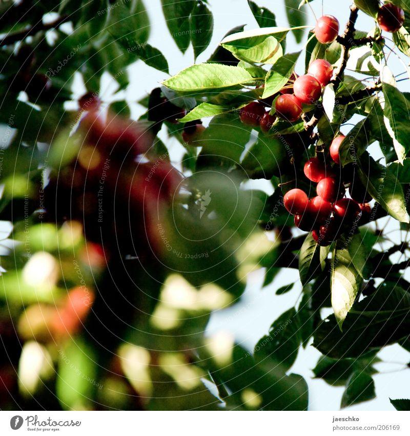 Steinfruchtbaumdetail Natur Sommer Baum Blatt saftig grün rot Kirsche süß Kirschbaum reif Frucht Obstbaum Farbfoto Außenaufnahme Nahaufnahme Detailaufnahme