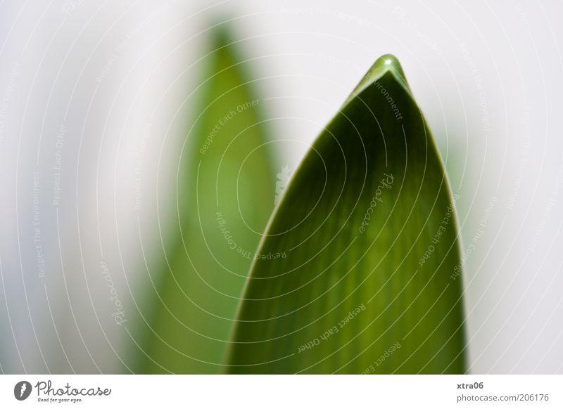 orchideenblatt Pflanze Blatt einfach Spitze gekrümmt Grünpflanze Topfpflanze Blattgrün Blattfaser