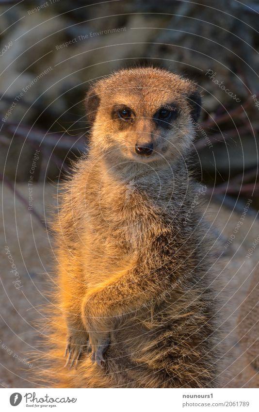 was guckst du Tier Wildtier Erdmännchen 1 hocken Blick lustig natürlich Neugier Originalität klug braun Sicherheit Schutz Geborgenheit friedlich Interesse