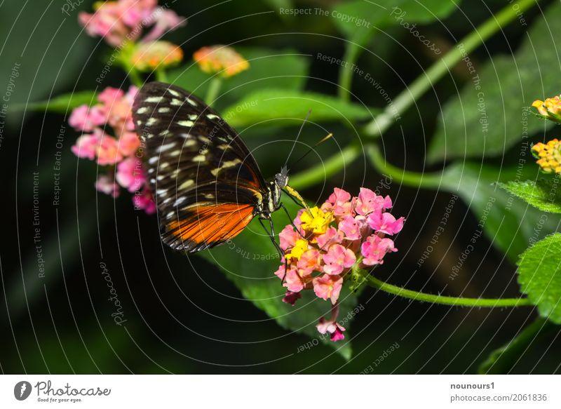 leichtigkeit Natur Pflanze Tier Blume Blatt Blüte Wildtier Schmetterling Flügel Zoo 1 Fressen hängen schaukeln sitzen trinken exotisch natürlich braun