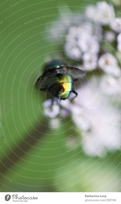 Primäre Geschlechtsteile Natur Blume grün Pflanze Sommer Tier Blüte Bewegung Frühling Luft glänzend klein rosa Fliege fliegen gold