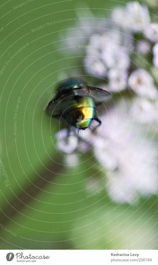 Primäre Geschlechtsteile Pflanze Tier Luft Frühling Sommer Blume Blüte Wildtier Fliege 1 Duft entdecken fliegen authentisch frei glänzend klein wild gold grün