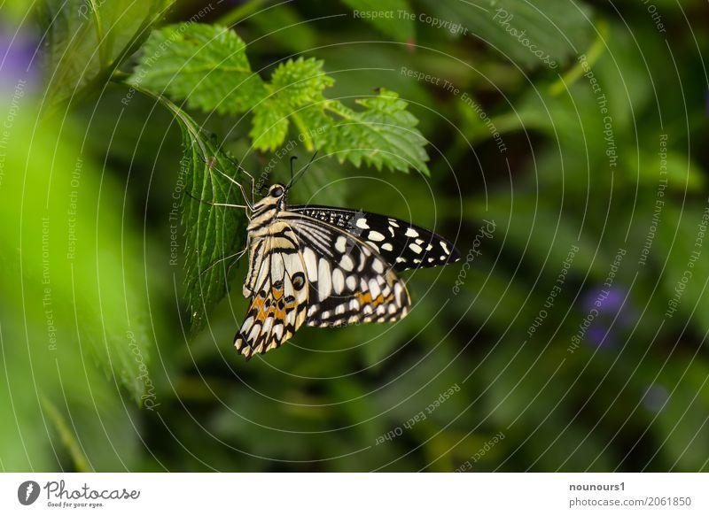 flattermann Tier Wildtier Schmetterling 1 hängen leuchten sitzen warten ästhetisch natürlich niedlich braun grün schwarz weiß Fühler exotisch flattern Flügel