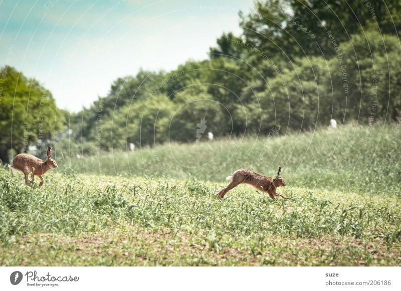 Hüpfen vor Freude Spielen Umwelt Natur Landschaft Pflanze Tier Urelemente Sommer Schönes Wetter Gras Wiese Feld Wege & Pfade Wildtier 2 Tierpaar rennen laufen