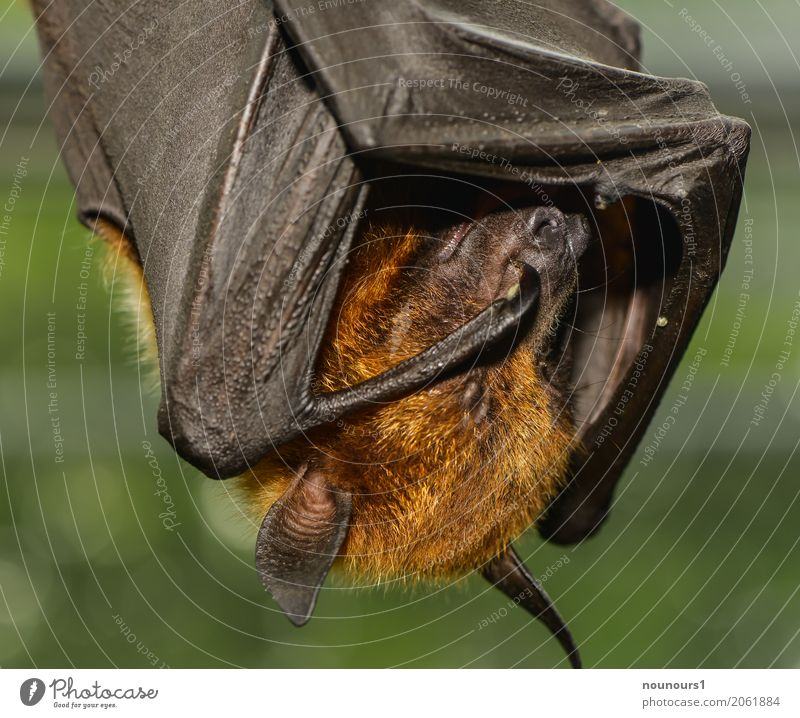 schläfrig Tier Wildtier Flugfuchs 1 atmen Erholung hängen schlafen schön lustig nah braun grün Müdigkeit Farbfoto Innenaufnahme Nahaufnahme Tag