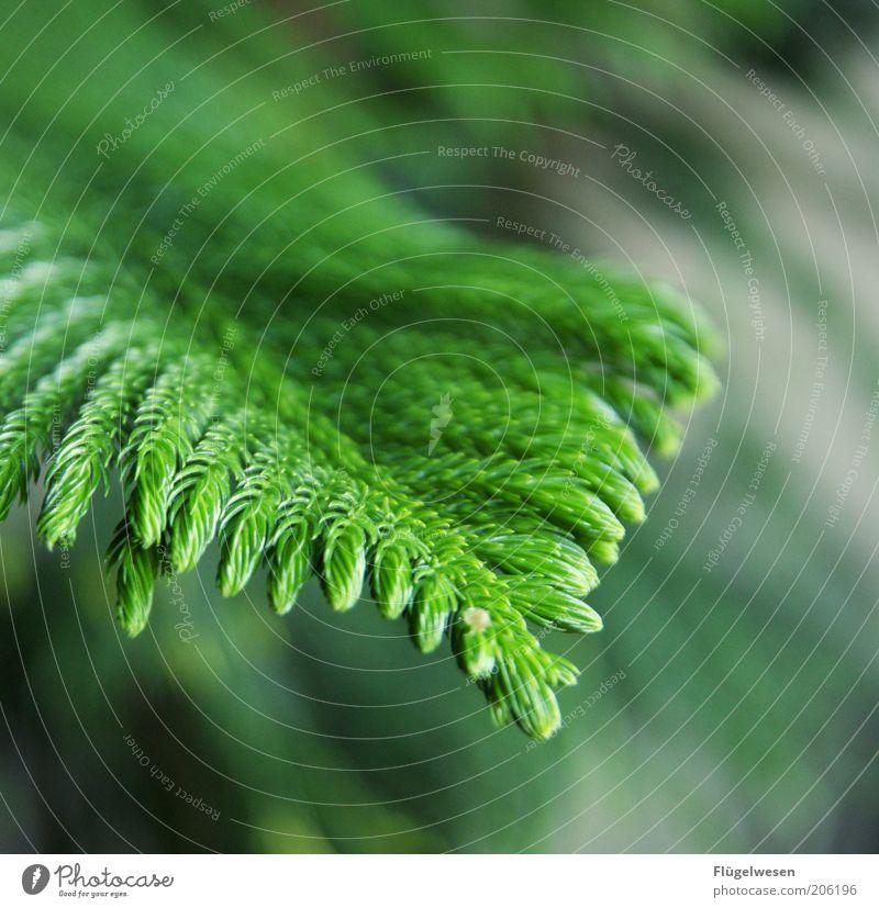 Oh Tannenbaum! Natur grün Baum Pflanze Wachstum Ast Nadelbaum Waldlichtung Landschaftsformen dehydrieren