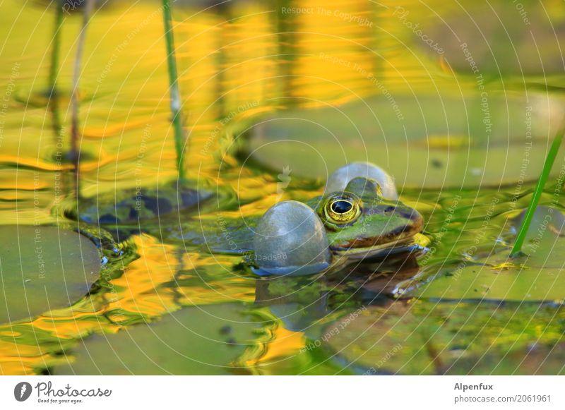 Risiko | das die Backen platzen Pflanze Blatt Wildpflanze Seerosenblatt Garten Park Moor Sumpf Teich Tier Wildtier Frosch 1 Schwimmen & Baden Quaken laut