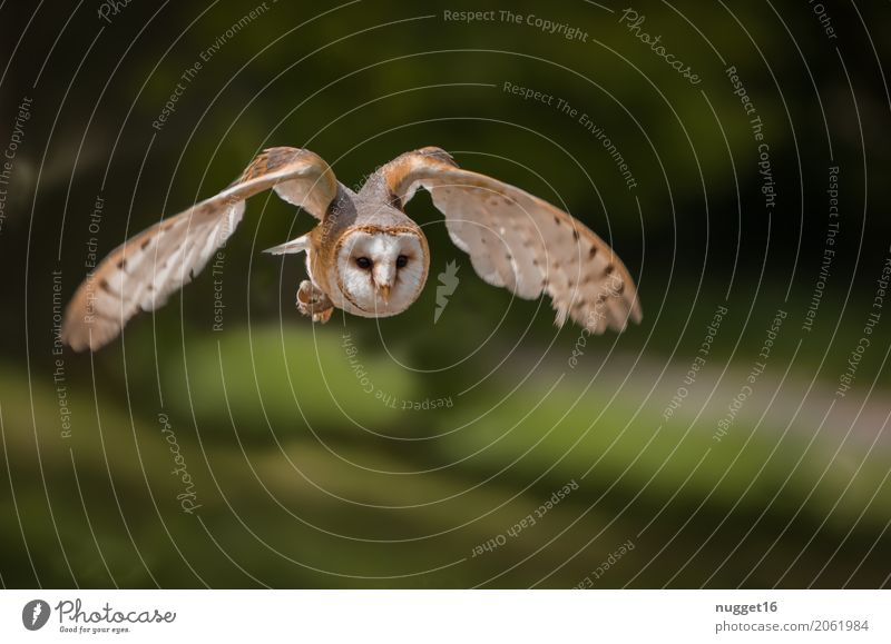 Schleiereule Umwelt Natur Tier Schönes Wetter Park Wald Wildtier Vogel Tiergesicht Flügel Zoo 1 fliegen Jagd ästhetisch authentisch außergewöhnlich fantastisch
