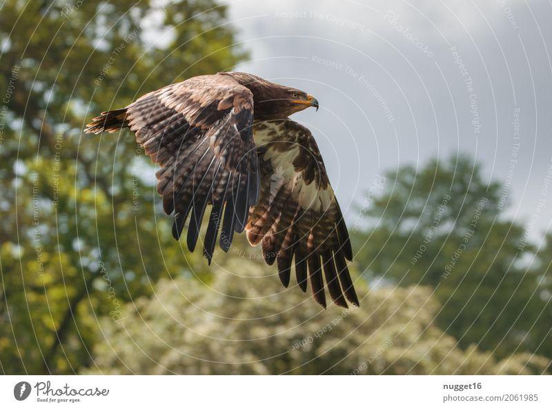 Steppenadler Umwelt Natur Tier Himmel Wolken Sonnenlicht Frühling Sommer Herbst Schönes Wetter Baum Sträucher Wald Wildtier Vogel Tiergesicht Flügel Zoo Adler 1